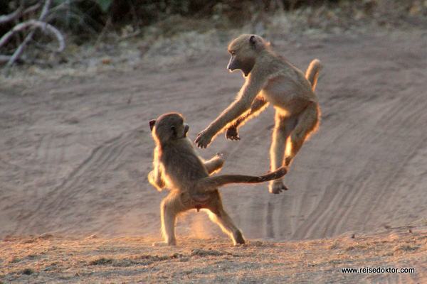 Paviane Chobe Nationalpark