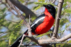 Rotbauchwürger Botswana