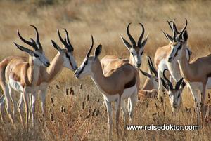 Springböcke Kalahari