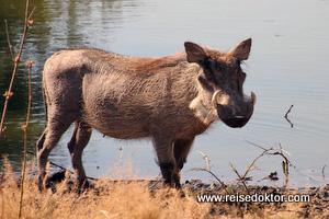 Warzenschwein Botswana