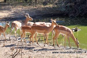 Wasserloch Impala