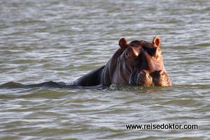 Flusspferd Blauer Nil