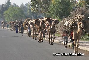 Kamele in Äthiopien