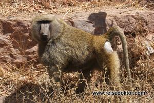 Pavian Äthiopien