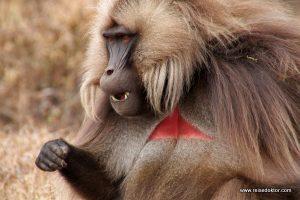 Blutbrustpavian Semien Nationalpark