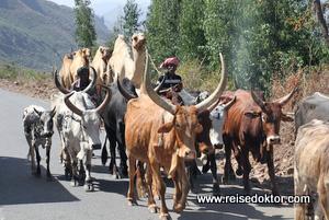Rinder und Kamele in Äthiopien