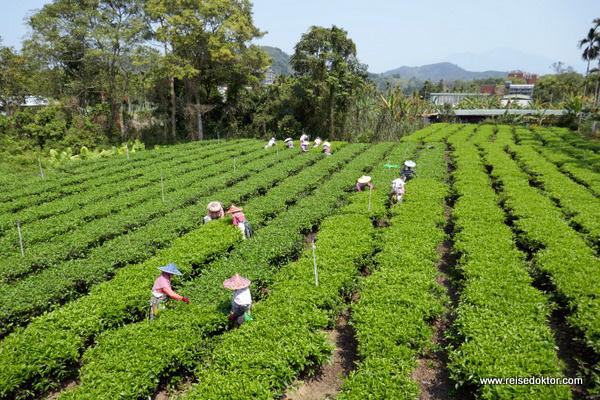 Teeplantage in Taiwan