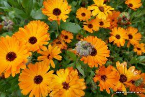 Blumen Inverewe Garden