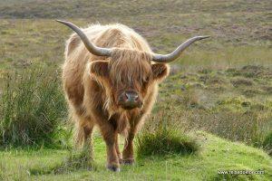 Hochlandrind Schottland