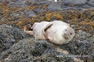 Seehund in Schottland