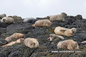 Seehunde Schottland